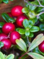 Ягода брусника:полезные свойства и народные рецепты