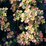 Каланхоэ лечебное растение