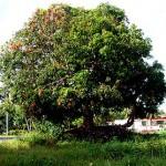 Манго растет во влажных тропиаках