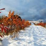 Облепиха полезна и зимой