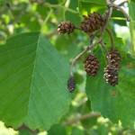 Ольховые листья