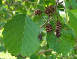Ольха близка к дубовому листу по свойствам.